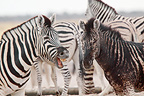 Abnormal coat of a zebra because of a genetic abnormality (Burchell's zebra )