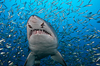 Sand Tiger Shark and Baitfishes North Carolina USA (Sand tiger shark )