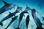 Atlantic Spotted Dolphins swimming Bahamas (Atlantic spotted dolphin)