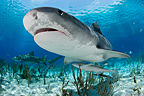 Tiger shark swimming above sandy bottom Bahamas� (Tiger shark )
