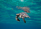 Young Hawksbill turtle swimming on the surface Florida USA (Hawksbill sea turtle)