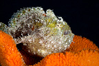 Freckled frogfish�with its mouth open Tuamotu (Freckled Frogfish)