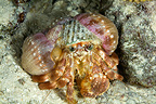 Anemone hermit crab with anemones on its shell Tuamotu