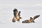 Two White-tailed Eagles fighting on the ice Japan (White-tailed Eagle)