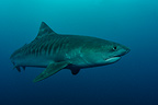 Tiger shark swimming Indian Ocean South Africa (Tiger shark )