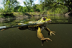 Green Frog in water Prairies du Fouzon France�