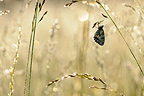 Marbled White on grass Prairies du Fouzon France�