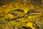Male Northern Crested Newt Prairies du Fouzon France