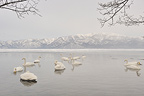 Group of Whooper Swans on the water in Japan (Whooper swan)
