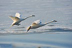 Two Whooper Swans in flight in Japan (Whooper swan)