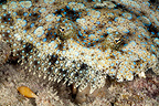 Flowery flounder in close-up, Tuamotu, Polynesia (Flowery flounder)