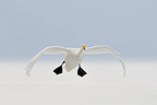 Whooper swan in flight in Japan (Whooper swan)