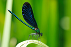 Beautiful Demoiselle male on the shores of Ognon river, France