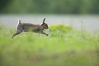 European Rabbit bounding through the grass Aube France (European rabbit)