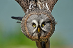 Portrait of a Great grey owl flying France (Great Grey Owl)