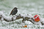 Common starling on a branch with snow Dombes France (Common Starling )