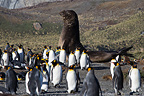 King Penguins and Elephant Seal Southern Georgia Southern (Southern elephant seal )