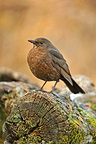 Blackbird female on a trunk Isere France (Fieldfare)