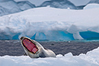 Leopard Seal on ice Antarctic Peninsula  (Leopard seal)