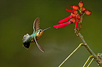 Purple throated mountain gem female gathering nectar (Purple-throated mountain-gem  (Hummingbird))