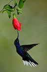 Violet sabrewing male gathering nectar Costa Rica (Violet Sabrewing  (Hummingbird))