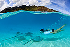 Pink Whipray and swimmer in the lagoon and Moorea, French Polynesia