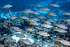 School of Onespot snappers, Atoll Fakarava, French Polynesia