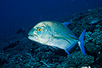 Bluefin trevally, Atoll Fakarava, French Polynesia