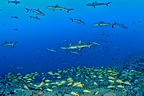 Gray Reef Sharks and Common bluestripe snappers, Fakarava, French Polynesia