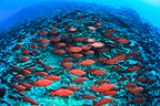 School of Moontail bullseyes, Fakarava, French Polynesia�