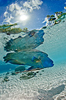 Humphead Wrasse on water surface, Fakarava, French Polynesia