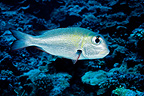 Humpnose Big-eye Bream, Fakarava, French Polynesia