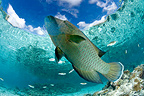 Humphead Wrasse in a lagoon, Fakarava, French Polynesia
