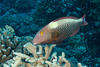 Bicolor Parrotfish, Fakarava, French Polynesia