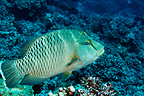 Young Humphead Wrasse, Fakarava, French Polynesia