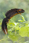 Male Northern crested newt displaying, Spring, England, UK