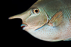 Portrait of a Spotted Unicornfish, Tahiti, French Polynesia