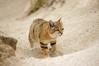Arabian sand cat walking (captive)