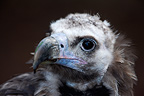 Portrait of a Cinereous Vulture, Spain (captive)