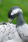 Common crane grooming, UK
