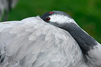 Common crane close-up, UK