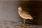 Eurasian Curlew in water in estuary, Wales, UK