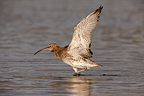 Eurasian Curlew stretching its wings, Wales, UK