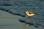 Sanderling in wave foam, New York, USA