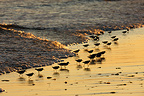 Sanderlings by sea, New York, USA