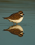 Semipalmated plover standing in water, New York, USA
