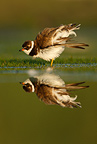 Semipalmated plover stretching its wings, New York, USA