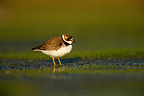 Semipalmated plover standing in mud, New York, USA