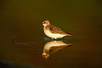 Semipalmated sandpiper standing in water, New York, USA