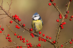 Blue tit on a branch with berries, Midlands, England, UK